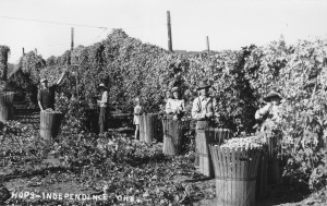 Harvesting_hops_near_Independence,_Oregon